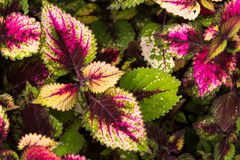 Coleus leaves, Background of colorfully leaves, Colored leaves on a bush. Background of colorfully leaves, Colored leaves on a bush Royalty Free Stock Images