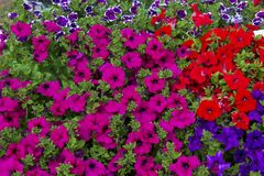 Background composed blue red pink violet petunia. Background composed of blue red pink violet and white-violet petunia royalty free stock images