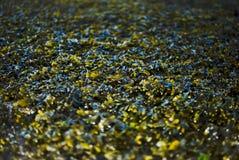 Green seaweed Stock Photos