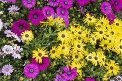Background composed of osteospermum flower royalty free stock image