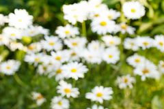 Background concept, Abstract texture blurred green and white chamomile flower. Royalty Free Stock Image