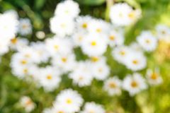 Background concept, Abstract texture blurred green and white chamomile flower. Stock Photos