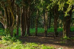 Background of coniferous trees in dense forest royalty free stock images