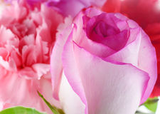 Background consists of pink roses and carnation on white background royalty free stock image