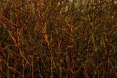 Background: a continuous interweaving of bare branches of a winter bush Stock Image