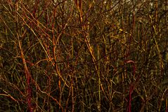 Background: a continuous interweaving of bare branches of a winter bush Royalty Free Stock Photo