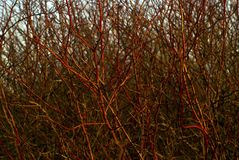 Background: a continuous interweaving of bare branches of a winter bush Royalty Free Stock Image