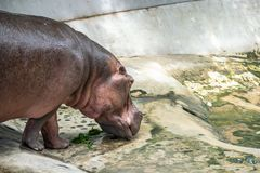 The background with copy space of Hippopotamus in the farm zoo. As know as hippo, it is a large herbivorous.  stock photo