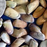 Coquina shells. Background of coquina shells in pile Royalty Free Stock Photography