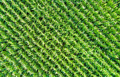 Background of corn field from aerial view royalty free stock photography