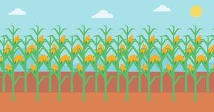 Background of corn field. Stock Photos
