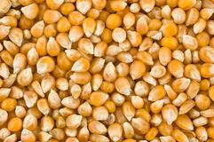 Background of corn kernels Stock Image