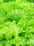 Background of corrugated leaves of lettuce Stock Image