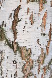 Background of the cortex tree birch wood Stock Images