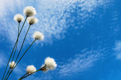 Background with cotton grass. Blooming cotton grass against a blue sky Royalty Free Stock Photography