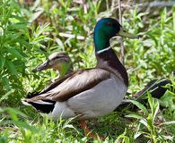 Beautiful isolated image of two mallards standing. Background with a couple of mallards standing Stock Photo