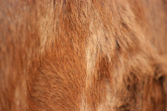 Background of a cow skin. This is cow skin, fur Royalty Free Stock Images
