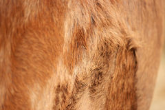 Background of a cow skin. This is cow skin, fur Stock Image
