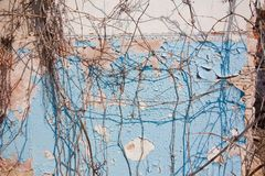 Background of cracked plaster covered old brick wall with dry ivy twigs and blue paint remnants, hard shadows in the sun. Flat horizontal texture stock image