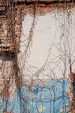 Background of cracked plaster covered old brick wall with dry ivy twigs, hard shadows in the sun, vertical rough abstract surface. Texture stock photography