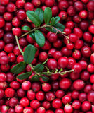 Background of Cranberry Stock Image