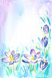 Background with crocus Royalty Free Stock Images