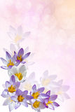 Background with crocuses. Background for a card with crocuses Royalty Free Stock Images