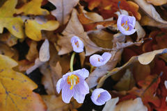 Background. Crocuses and oak leaves. Royalty Free Stock Photography