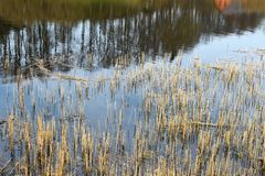 Background of cut off old dry rushes. Background of cut off old  dry rushes in dark lake with reflection of trees on water surface Stock Photo
