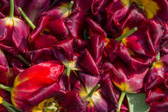Background cut wilted tulips Stock Image