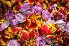 Background cut wilted tulips Royalty Free Stock Image