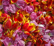 Background cut wilted tulips Stock Photography