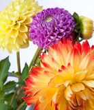 Background with dahlias Royalty Free Stock Photo
