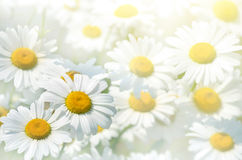 Background of the daisies Stock Photos