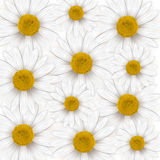 Background with daisies. Daisy on a white background Stock Image