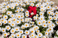 Background of daisies and petunia Royalty Free Stock Image