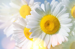 Background with daisies Stock Photography