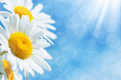 Background with daisies Royalty Free Stock Photography