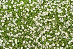 Background of daisy flowers Stock Photography