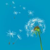 Background with dandelion. Dandelion on blue sky background Stock Photography