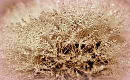 Background with dandelion Royalty Free Stock Photo