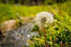 Background of a Dandelion Flower in the field in the summer. stock photography