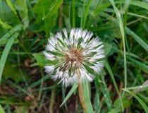 background dandelion wet after rain stock photo