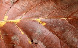 Dark brown and yellow color of dry leaf, Dry leaf of teak tree. Background of Dark brown and yellow color of dry leaf, Dry leaf of teak tree Stock Photography