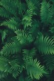 Fern Leaves From Above Royalty Free Stock Image