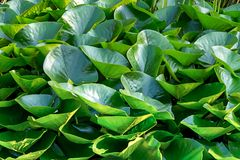 Background dark green leaves round lily lot of vegetation fresh design aquatic plants stock image