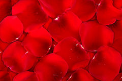 Background dark red of rose petals Stock Image