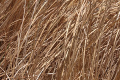 Dead grass background Stock Image