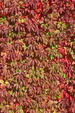 Background of decorative grape. Leaves in autumnal color Royalty Free Stock Photography