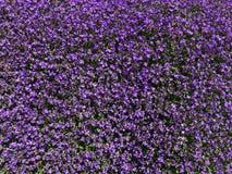 Background with decorative purple Alpine garden flowers. Canton of Lucerne, Switzerland royalty free stock photo